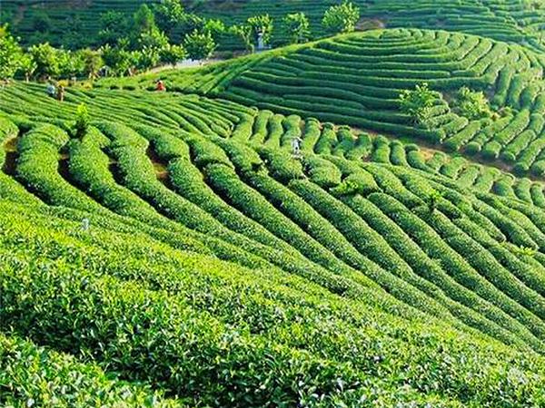 绿茶 (120).jpg