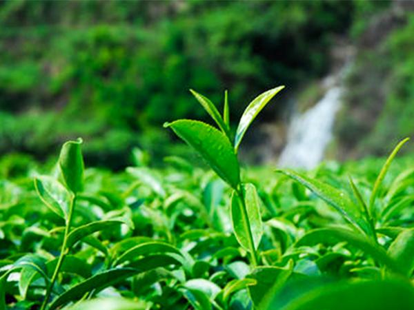 绿茶 (137).jpg