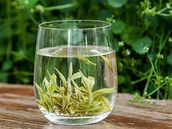 安吉白茶的作用有哪些